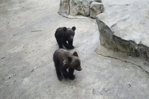 Ведмежата у Київському зоопарку