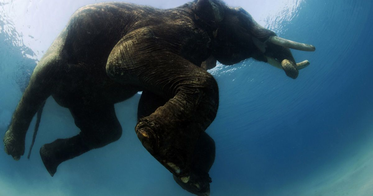 Раджан - індійський слон, що вміє плавати @ bigpicture.ru