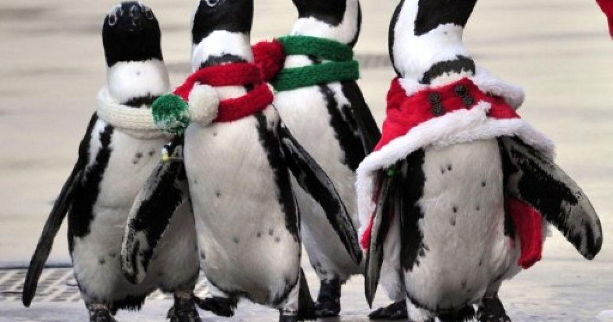 Японія, Йокогама. Пінгвіни у різдвяних костюмах беруть участь у святі в акваріумі Hakkeijima Sea Paradise в Йокогамі. @ AFP