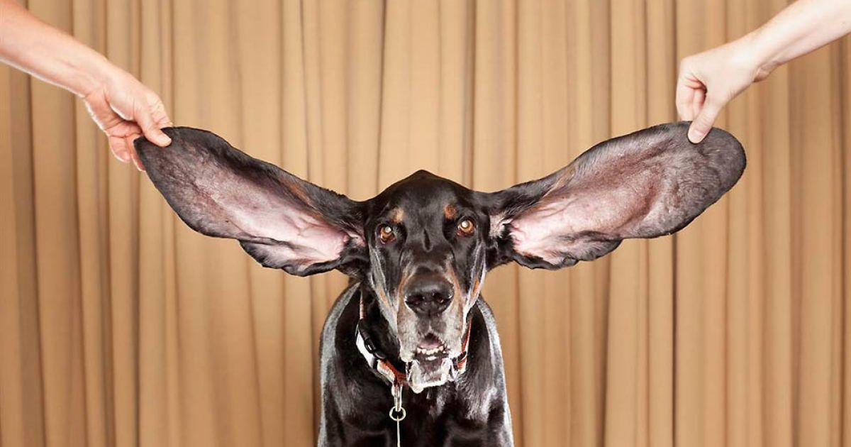 Найвухастіший собака — кунхаунд Харбор (ліве вухо 31,7 см, праве – 34 см) @ Guinness World Records