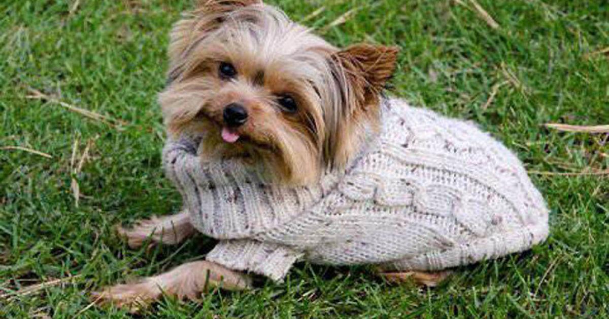 Найменший собака у світі - Люсі, йоркширський терьєр (14 см) @ Guinness World Records
