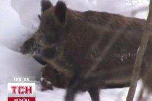 Одещина потерпає від нашестя молдавських вепрів