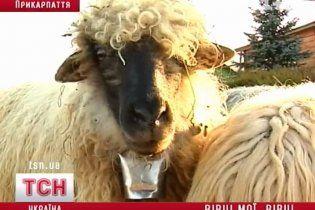 У Прикарпатті людей лікують вівцями