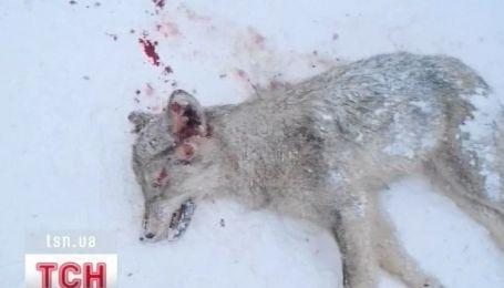 На Тернопольщине волк чуть не зашел в гости к сельской семье