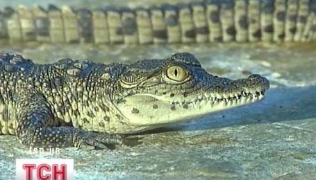 Крокодиловый праздник