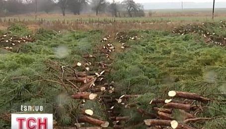 Десятки тысяч срубленных елок гниют на полях Черниговщины
