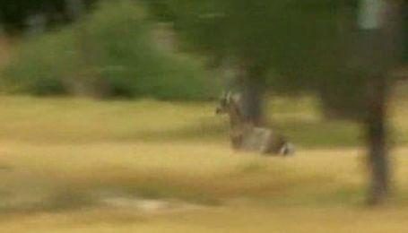 Коза устроила дорожный коллапс в Австралии