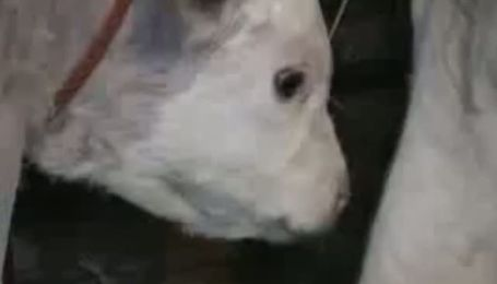 В Сербии родился необычный теленок сиреневого цвета