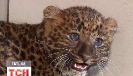 В Ровно показали новорожденного леопарда