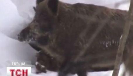 Одесчину терроризируют дикие кабаны