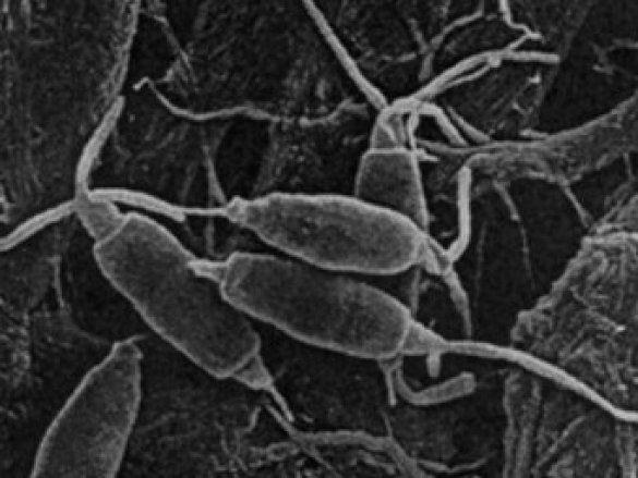 Гриб Pestalotiopsis microspora, що їсть пластик