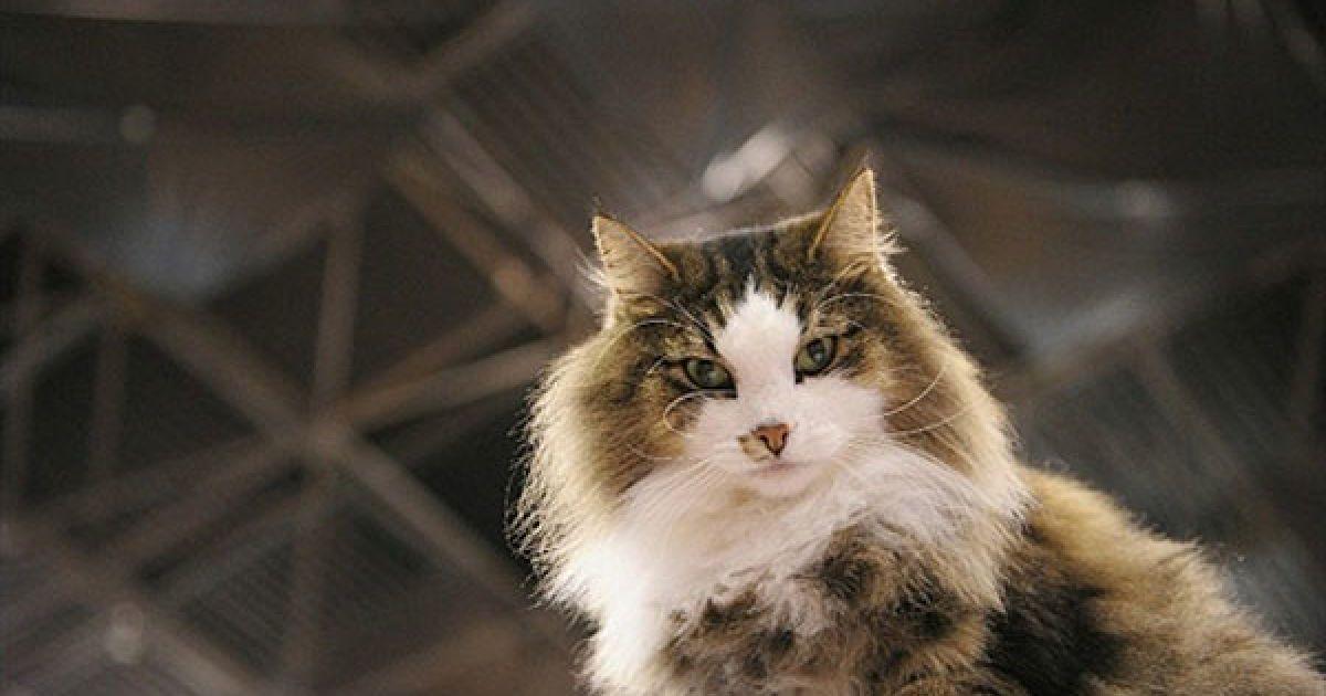 Аларік, норвезька лісова кішка @ AFP