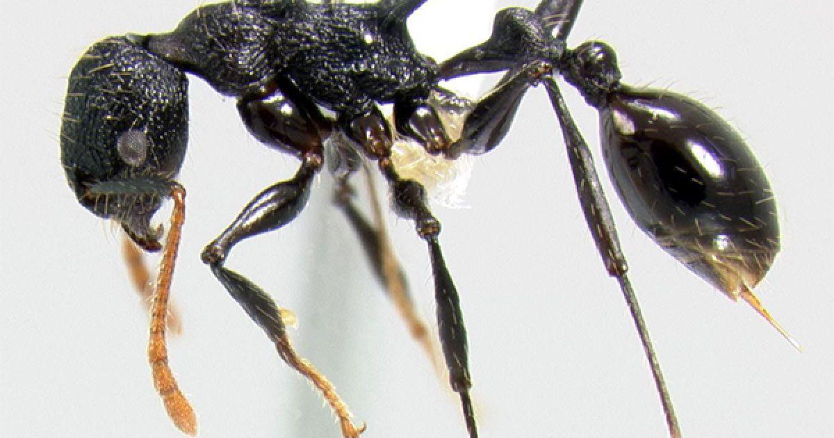 Новый вид муравьев, открытый на высоте 1600 метров @ National Geographic