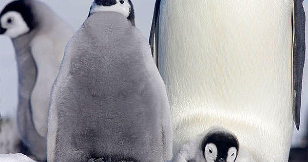 Пташенята імператорського пінгвіна на острові Сноу Хілл у морі Уедделла біля берегів Західної Антарктиди @ The Telegraph