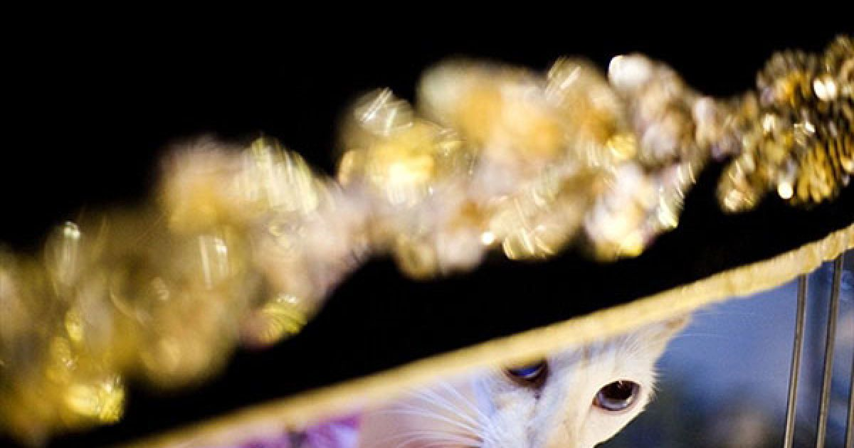 Яванський кіт на виставці @ AFP