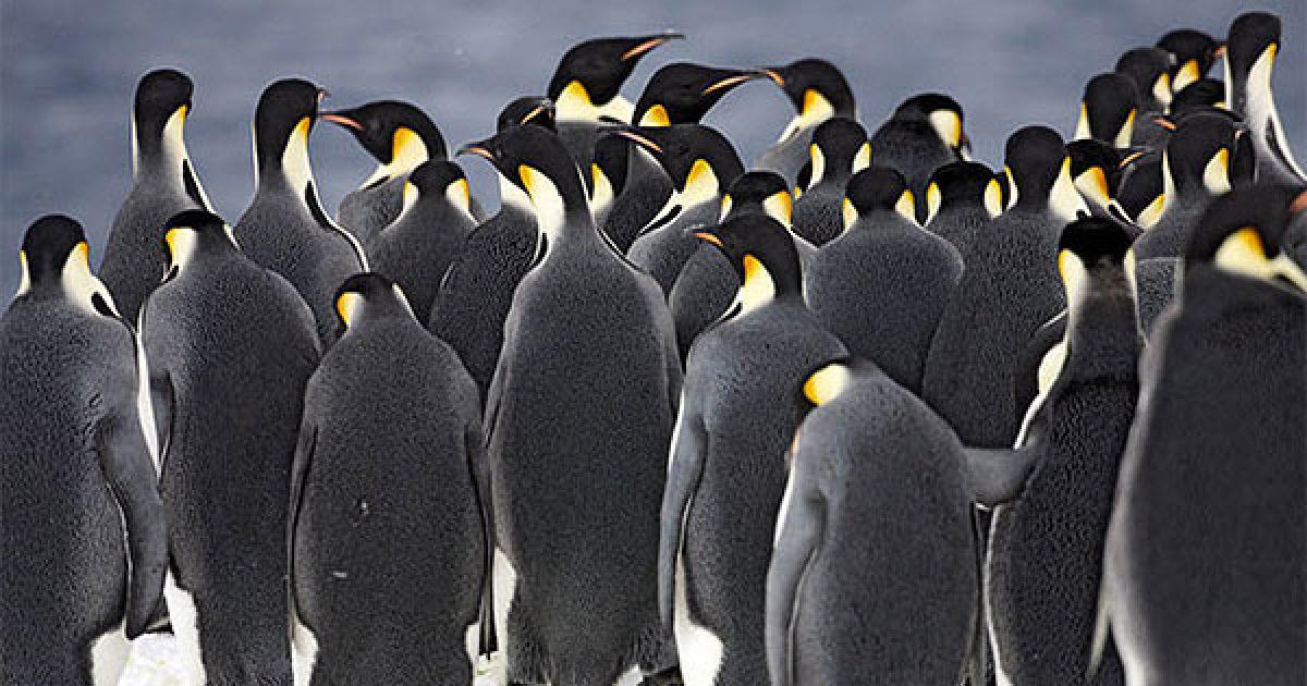 Імператорські пінгвіни зібралися на льоду перед зануренням у море @ The Telegraph