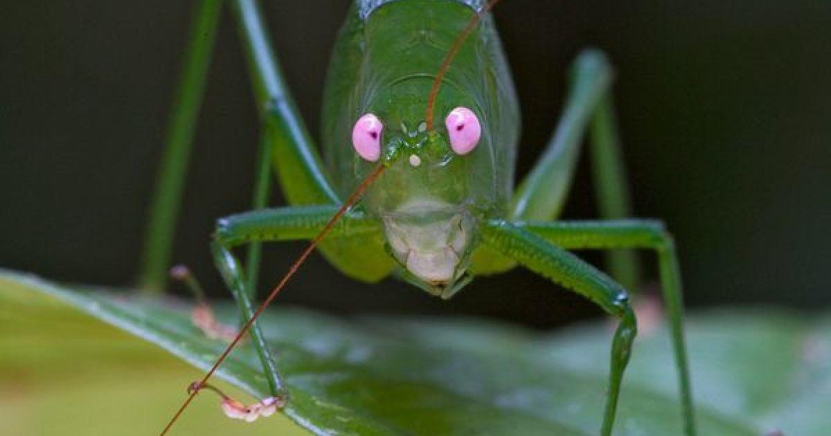 Кузнечик с розовыми глазами Phaneropterinae рода Caedicia @ National Geographic