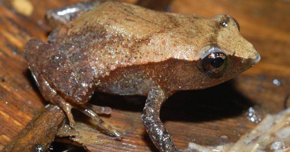 Маленькая лягушка длиной 2 см @ National Geographic
