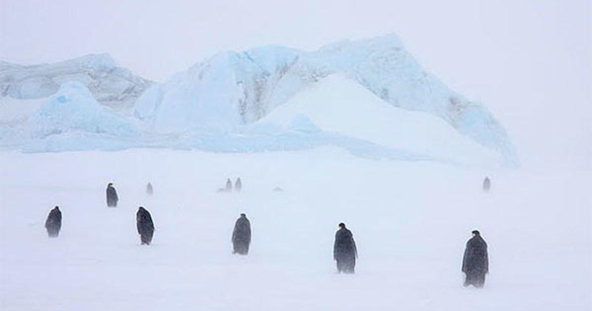 Імператорські пінгвіни і їхні пташенята у сніговій бурі. @ The Telegraph