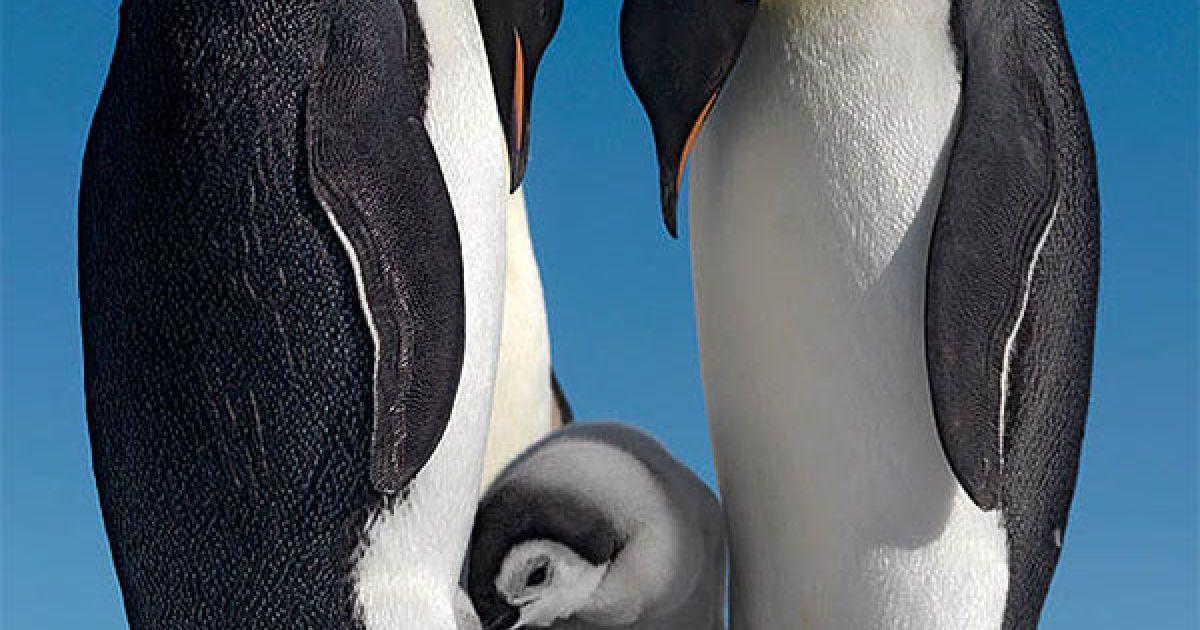 """100 туристів вирушать на російському криголамі """"Капітан Хлєбніков"""" до Антарктиди, щоб побачити новонароджених пінгвінів. Зазвичай подорож починається в жовтні, що дає туристам можливість побачити пташенят, коли їм лише два місяці від народження. @ The Telegraph"""