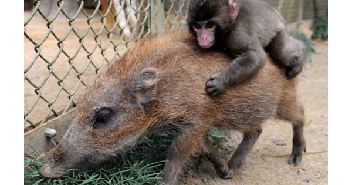 Мавпа Міва катається на маленькому кабані Убіро у токійському зоопарку. Міва і Убіро оселилися у цьому зоопарку у червні, після того, як їх покинули батьки. @ AFP
