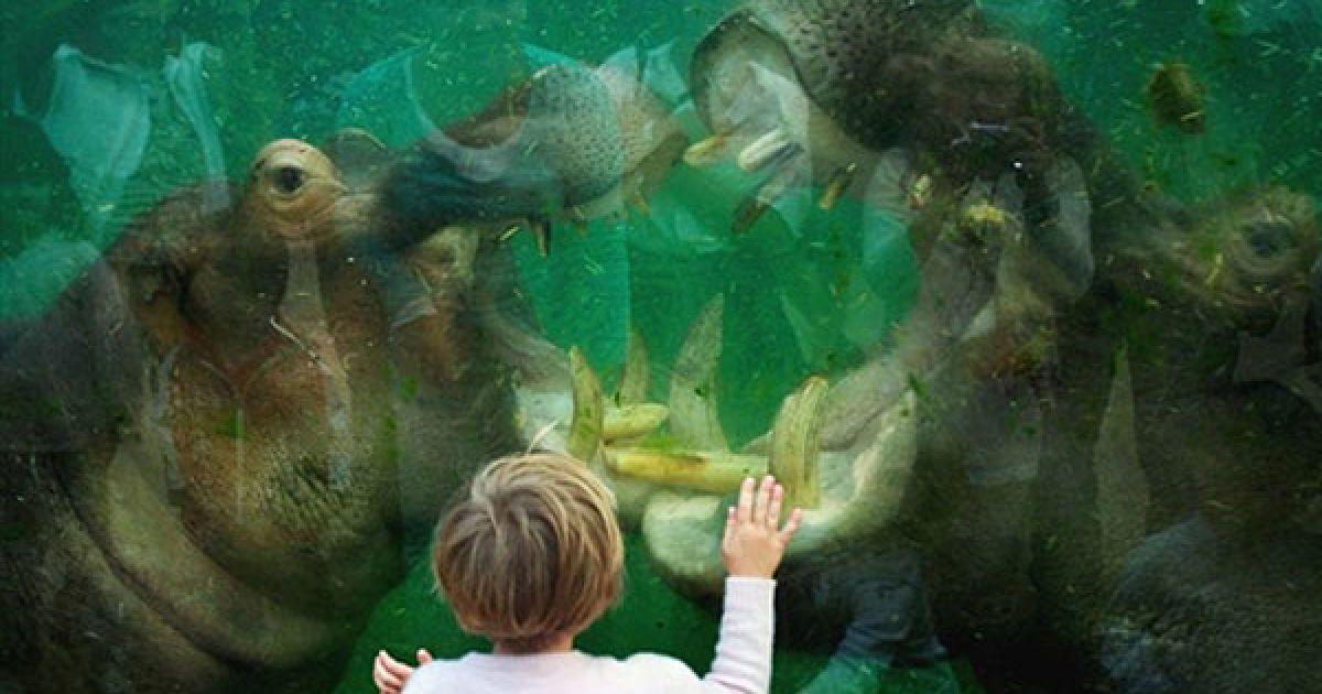 Німеччина, Кельн. Дівчинка роздивляється, як двоє бегемотів грають у басейні центру Hippodrom у Кельні. @ AFP