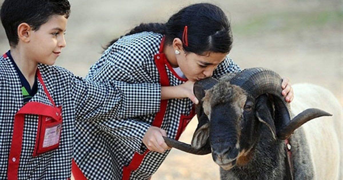 Туніс, Аріана. Дівчина цілує бійцівського барана. Щороку, за двадцять днів до свята жертвопринесення Ейд-аль-Ідха, діти влаштовують імпровізовані бої баранів. @ AFP