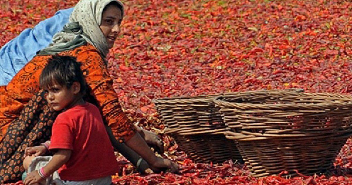 Жінка збирає висушені перці чилі у Срінагарі. Зазвичай чилі сушаться на дахах будинків, завдяки чому набувають малинового кольору. @ AFP