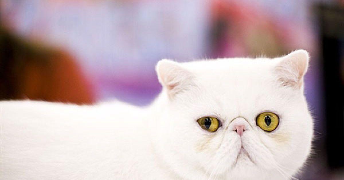 Кіт-екзот на виставці @ AFP
