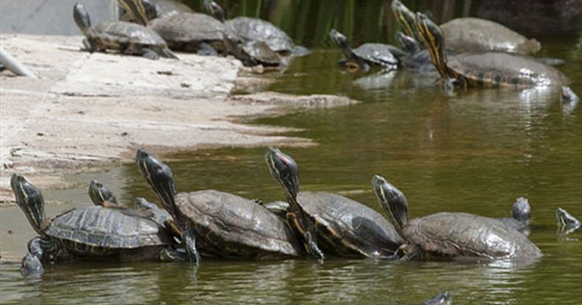 Мексика, Мехіко. Кілька черепах Trachemys scripta elegans, також відомих як флоридські черепахи або червоновухі черепахи, плавають у пруді Музею археології у Мехіко. @ AFP