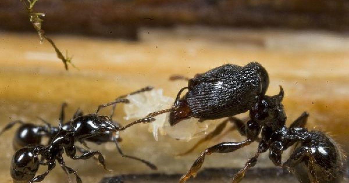 Новый вид муравьев @ National Geographic