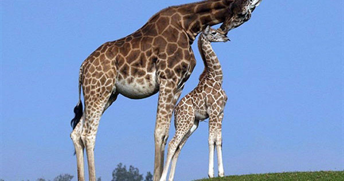 США, Сан-Дієго. Мале жирафеня на прізвисько Махалео, якому тільки виповнився один місяць, разом зі своєю матір'ю Шані показався публіці у сафарі-парку Сан-Дієго, штат Каліфорнія. Махалео став 115-м жирафом, який народився у зоопарку Сан-Дієго. @ AFP