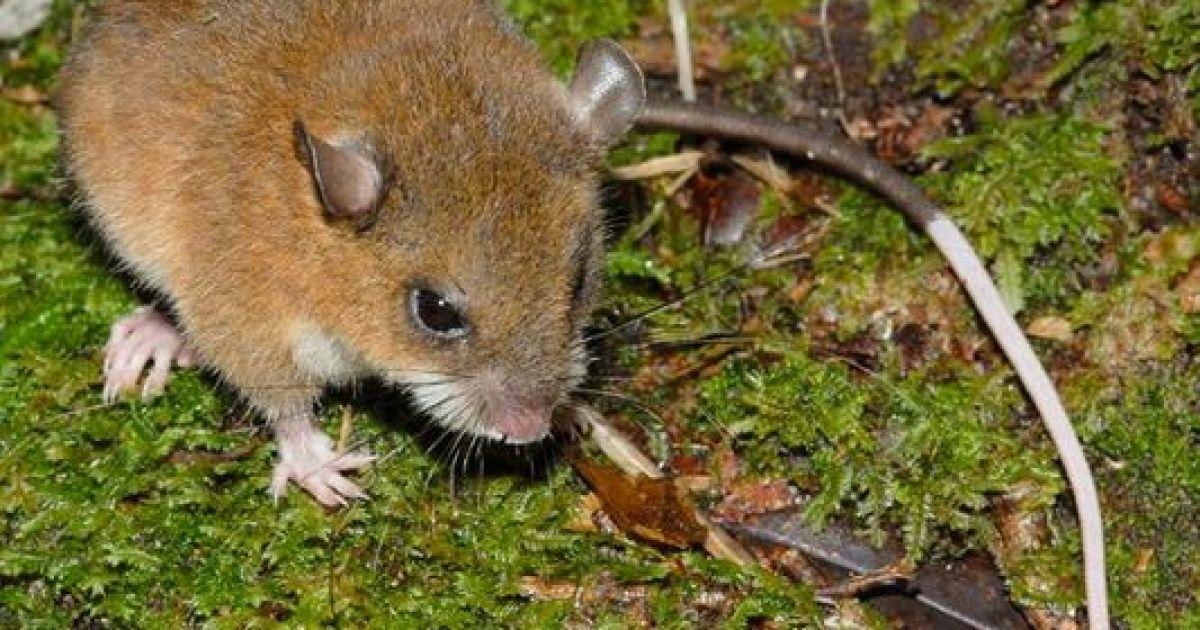 Мышка с белой кисточкой на хвосте @ National Geographic