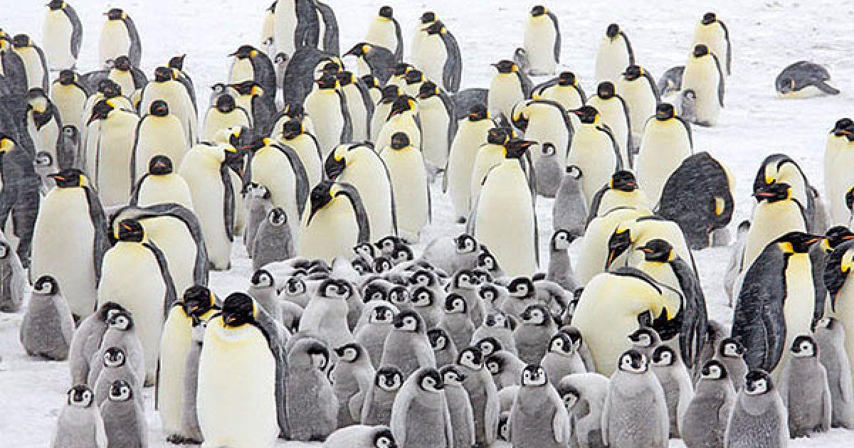 """Норвезький фотограф Пел Хермансен зробив серію фотографій пінгвінів під час подорожі до берегів Західної Антарктиди на кораблі """"Капітан Хлєбніков"""". @ The Telegraph"""
