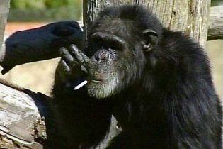 Шимпанзе-курильщик пережил своих родственников почти на 10 лет