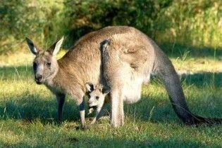 С дачи Януковича разбежались кенгуру