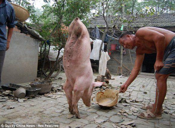 Свиня на двох ногах_1