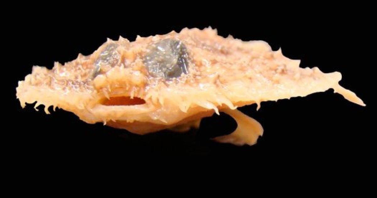 Риба Halieutichthys intermedius