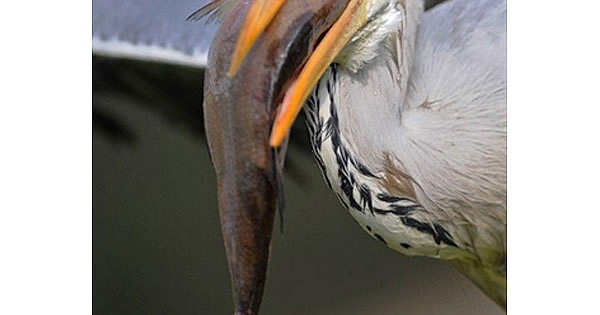 Німеччина, Гейдельберг. Сіра чапля тримає у дзьобі рибу в зоопарку міста Гейдельберг. @ AFP