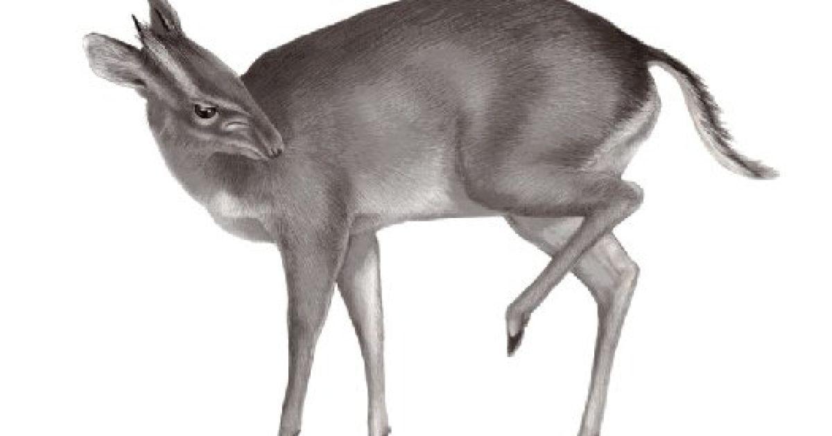 Антилопа Philantomba walteri