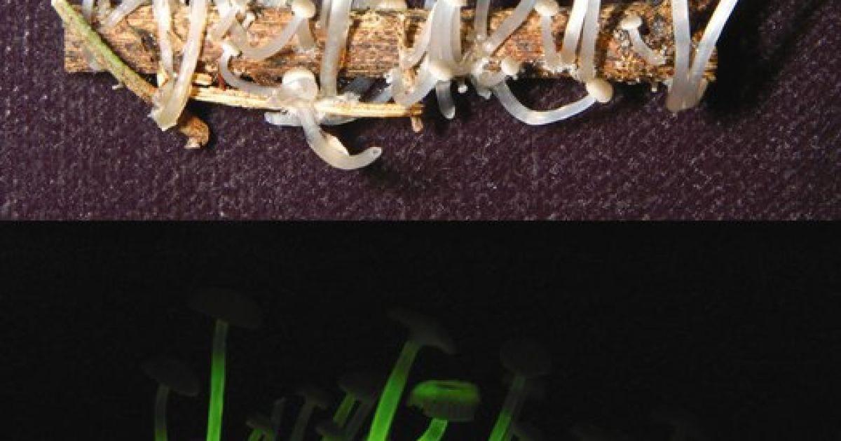 Гриби, що світяться, Mycena luxaeterna