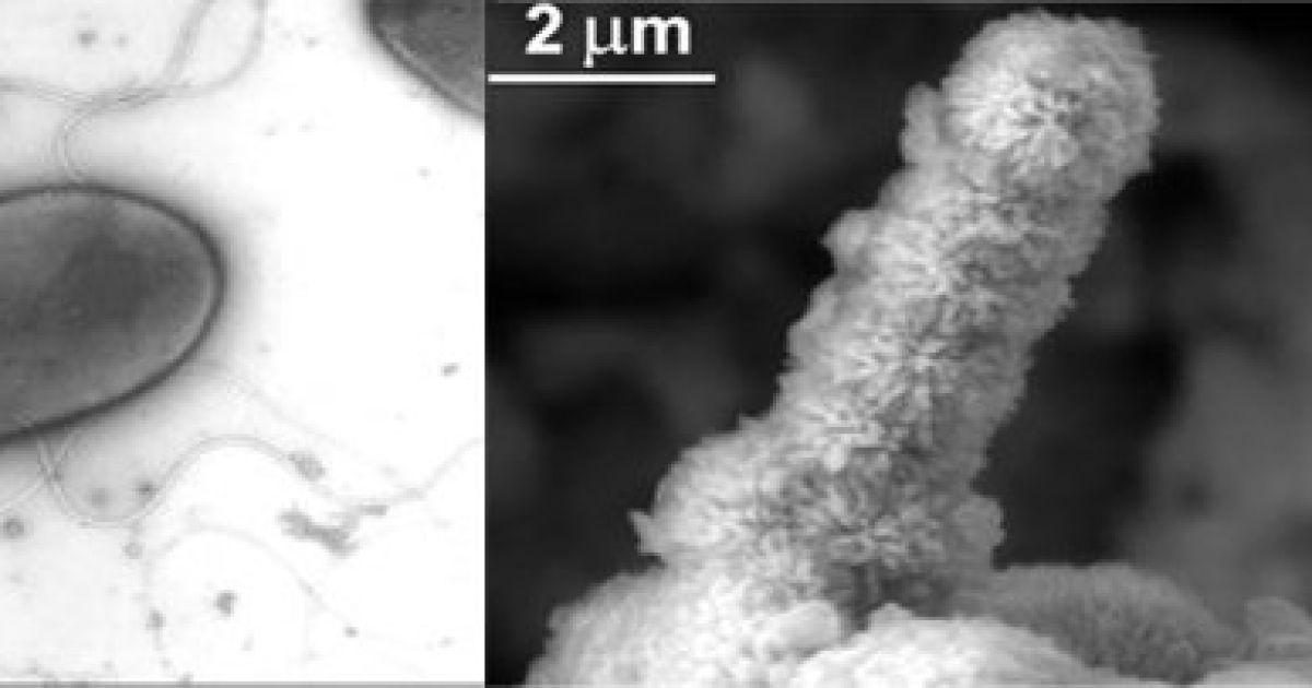 Залізоїдна бактерія Halomonas titanicae