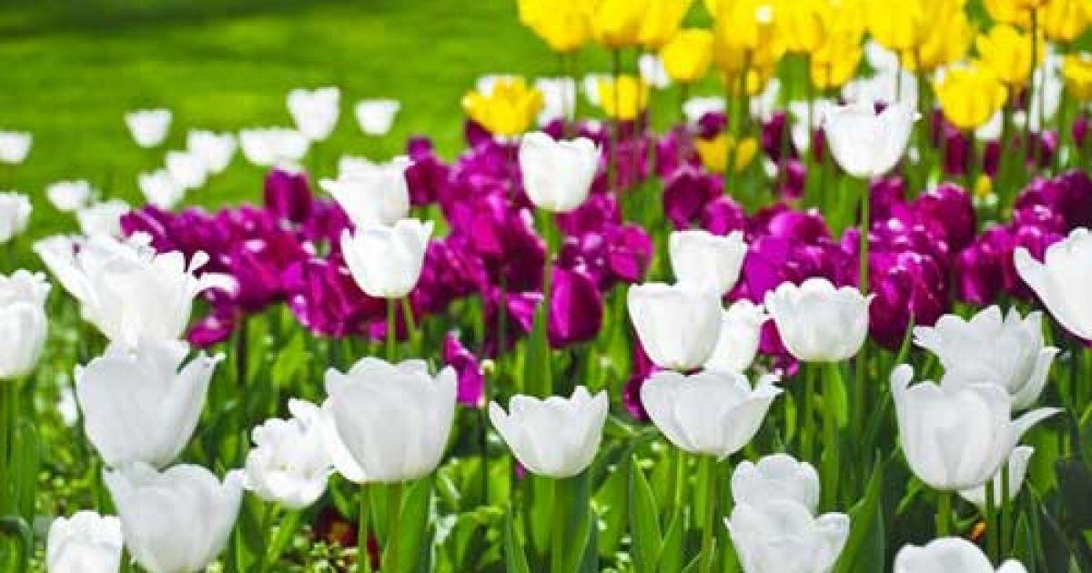 Посмотреть на тюльпаны приезжает множество туристов