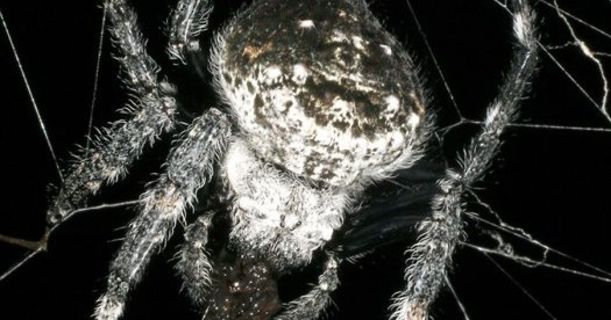 Павук Caerostris darwini