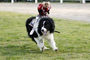 Чемпіон з родео навчив чотирьох мавпочок їздити верхи на собаках