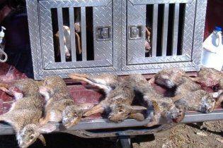 На Буковині від невідомої хвороби масово гинуть зайці