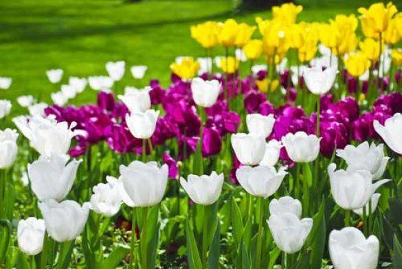 Квіти, тюльпани, погода
