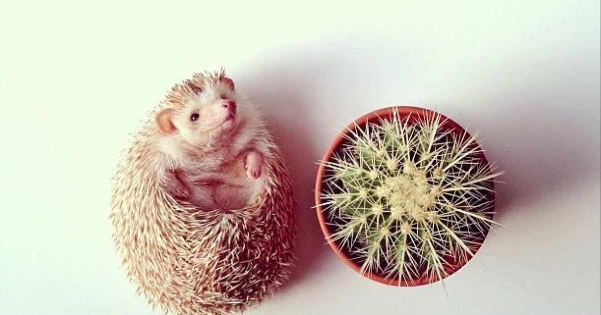 Ежик охотно позирует перед камерой @ instagram.com/darcytheflyinghedgehog