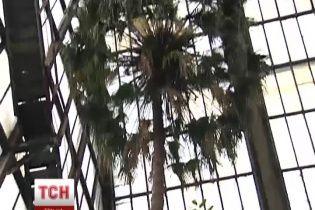 Найстарша пальма України раптово розквітла, добряче здивувавши вчених