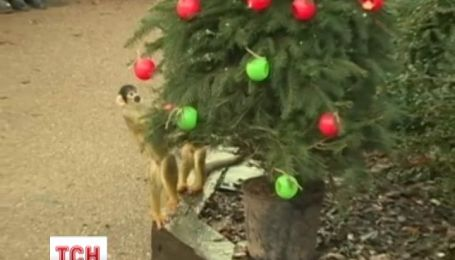 Для обезьян из зоопарка Лондона наступили новогодние праздники